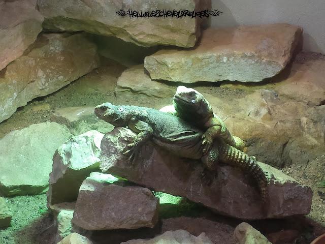 Deux reptiles l'un sur l'autre sur une pierre à Touroparc