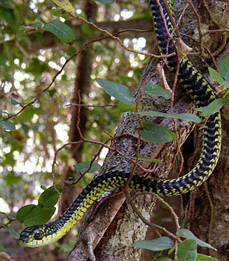 Boomslang Dispholidus typus