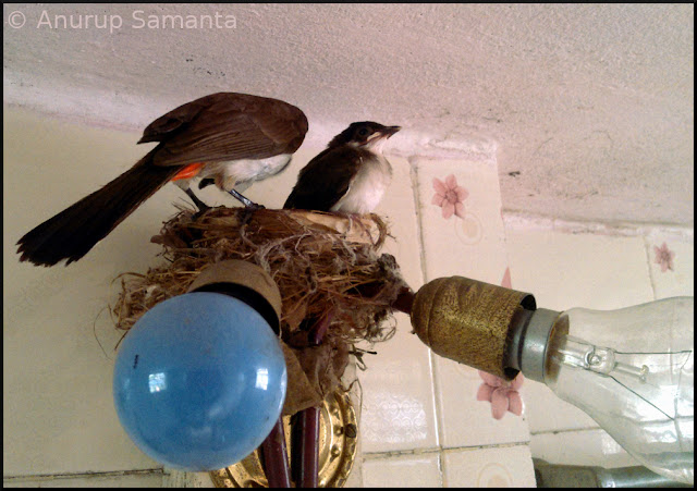 Bulbul brothers finally left their Nest