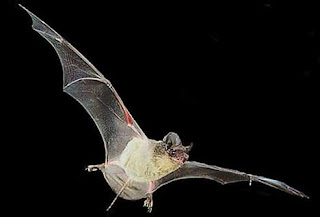 Murciélago en pleno vuelo