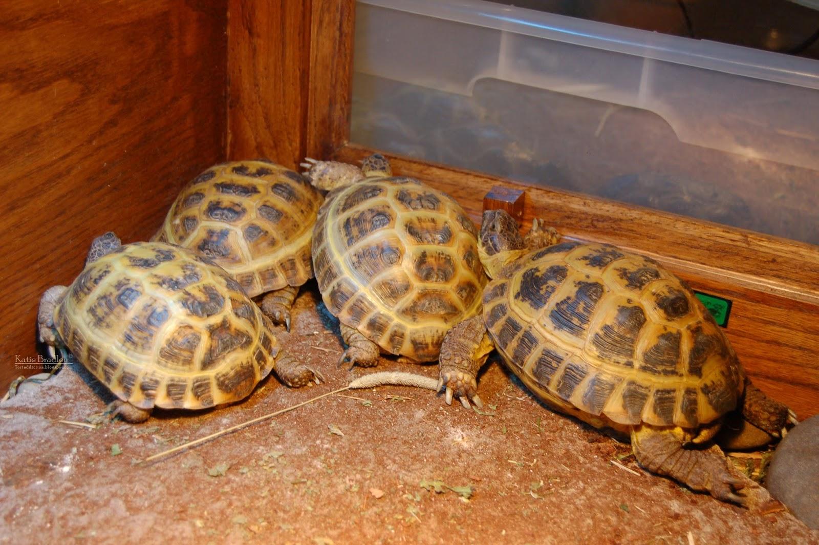 Домашние условия для сухопутных черепах
