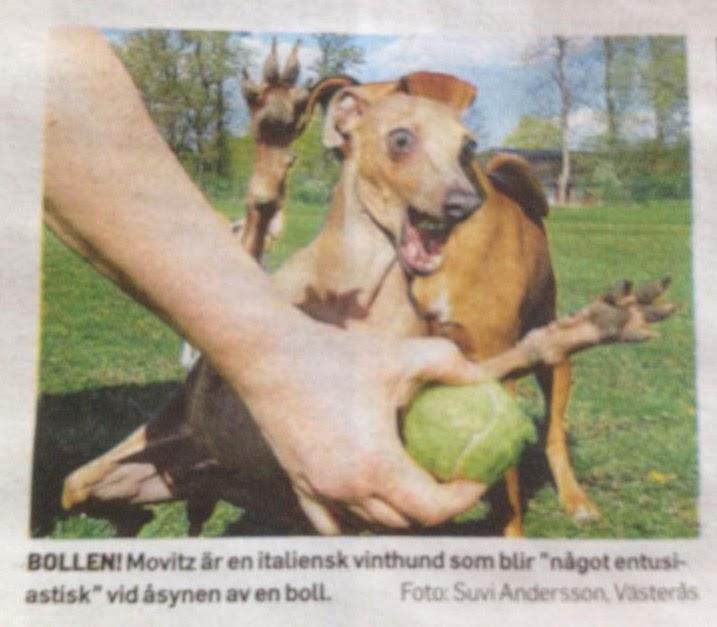 Italiensk vinthund som hoppar galet efter en tennisboll. Så kul bild!