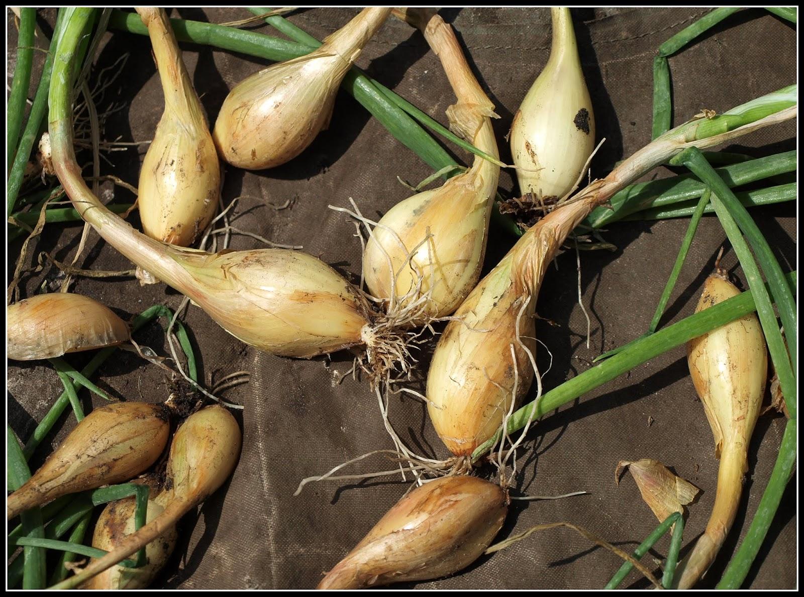 Mark's Veg Plot: Harvesting Shallots