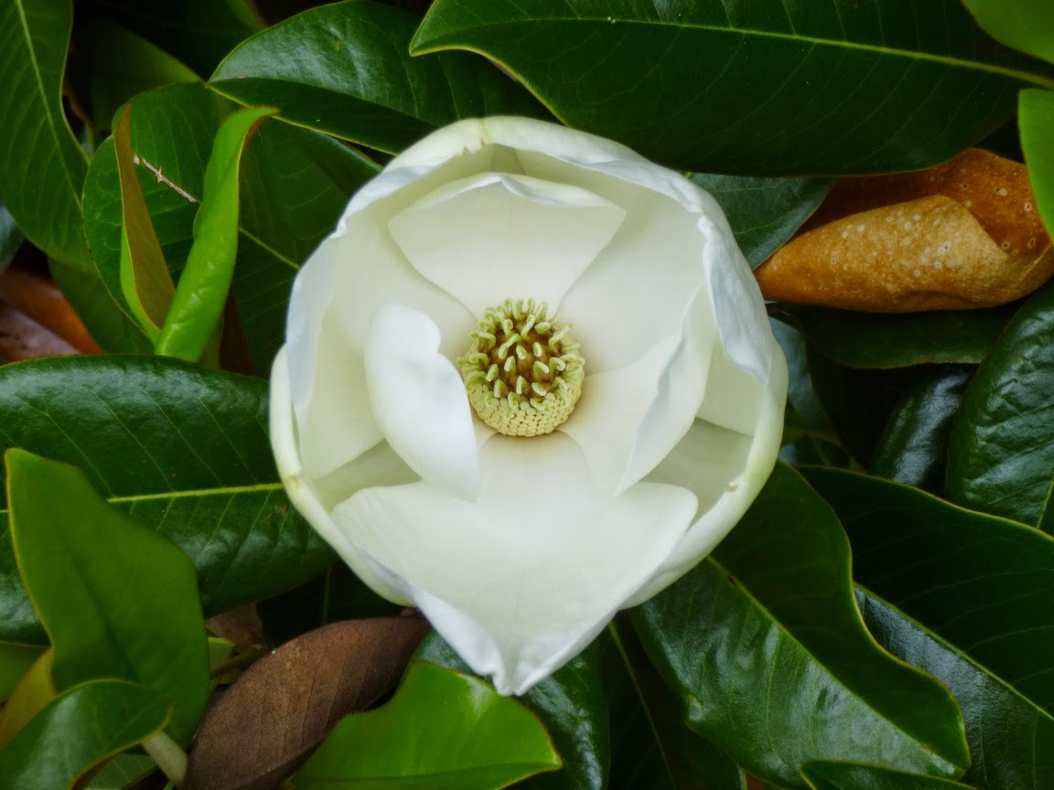 Head-on view of a Southern Magnolia blossom