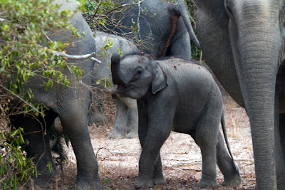 A small Elephant calf
