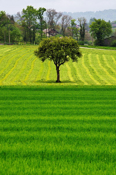 A tree in the green fields