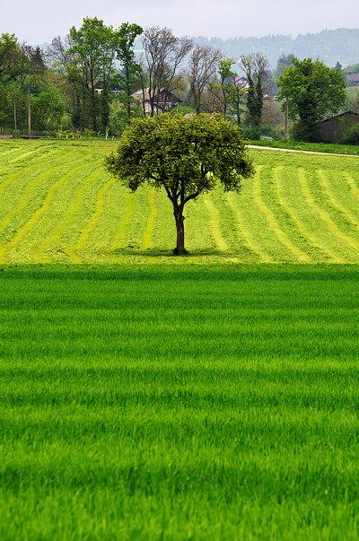 A tree in the green fields