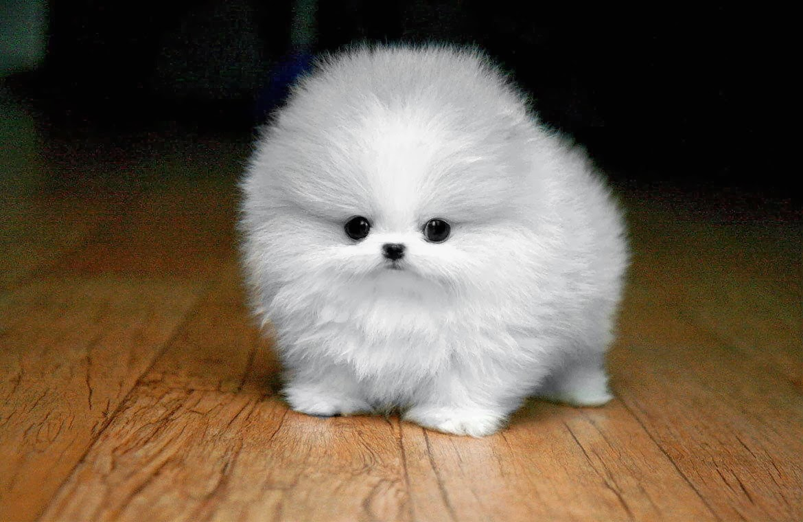Cute dogs - part 6 (50 pics), a very fluffy puppy