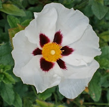 Winter Fire cistus