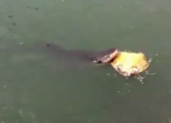 Video of Tiger shark eating sea turtle at Pier One breakwall in Kahului Harbor in Maui