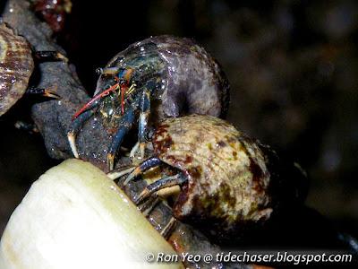 Mergui Hermit Crab (Clibanarius merguiensis)