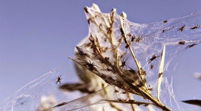 ternyata laba laba mu hasilkan serat sutra paling kuat di dunia