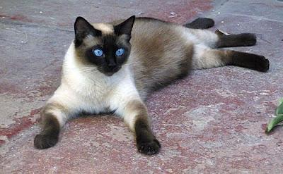 Menghilangkan Ketombe Kucing Siam