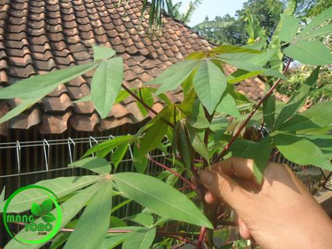 Cara Menanam Singkong untuk diambil daunnya atau diambil umbinya