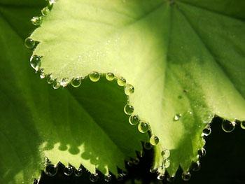 Gutasi pada daun