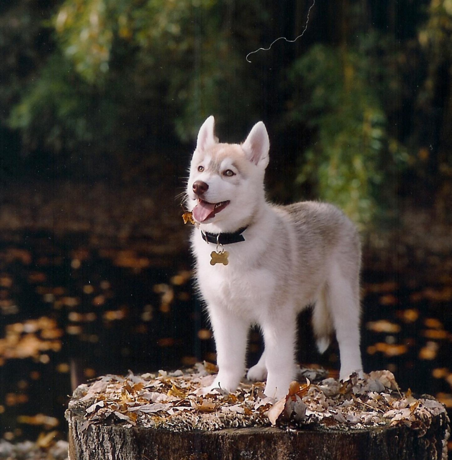 Wallpapers-hub: Cute Siberian Huskies Puppies Wallpapers