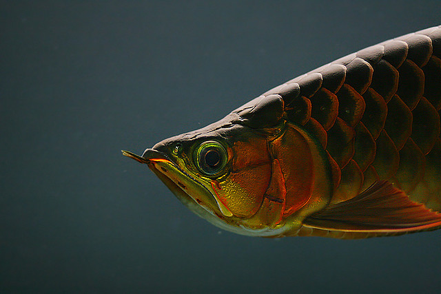 Arowana Care How To Choose The Best Arowana Exotic Tropical