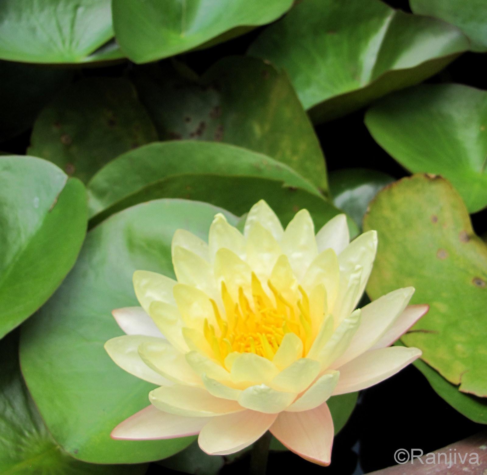 des n nuphars et des lotus vietnam paysages et fleurs au fil de l 39 eau. Black Bedroom Furniture Sets. Home Design Ideas