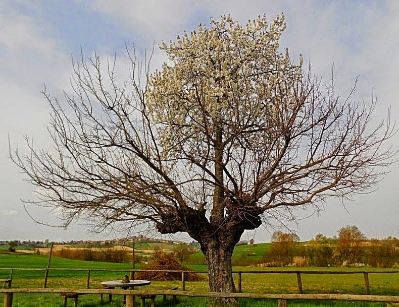 الشجرة المزدوجة - شجرة تنموا داخل شجرة أخرى