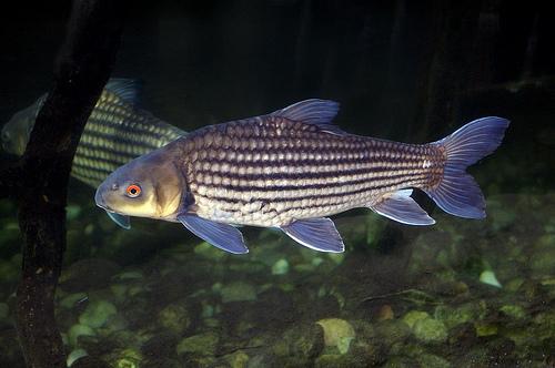 Ikan Temoleh