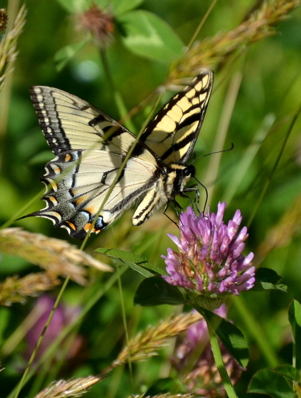 Image Result For Swallowtailerfly Coloring