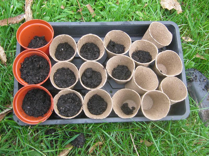 how to grow garden peas in pots