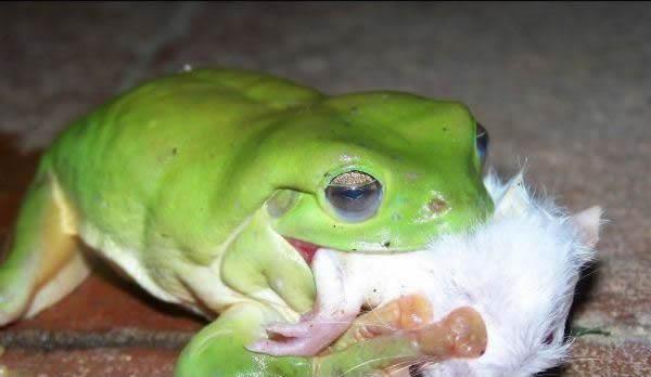 PICTURE BUGS: Smoke Frog eating snake