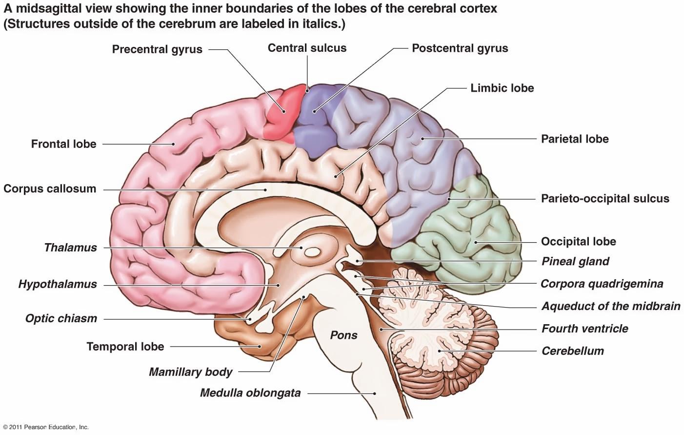 Brain Anatomy Diagram Reticular Formation - House Wiring Diagram ...