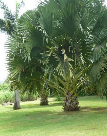 Palmier corypha flore de l le de la r union for Entretien jardin reunion