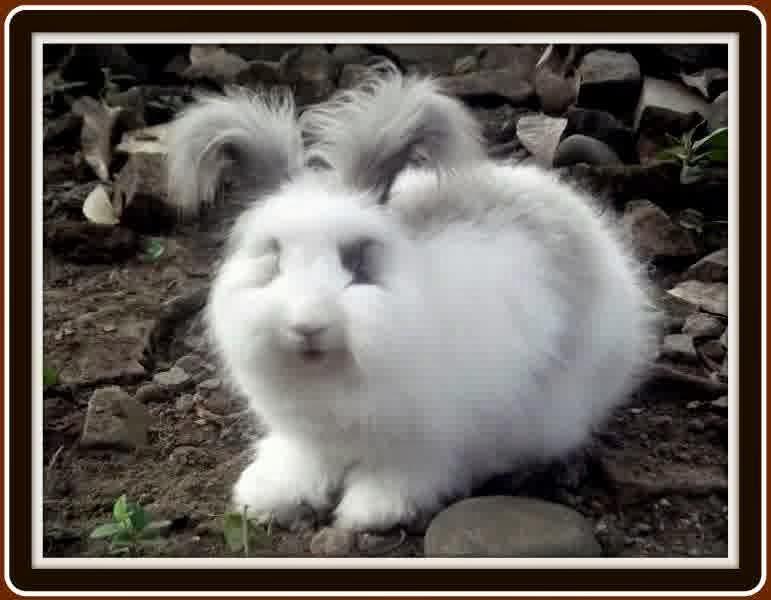 gambar kelinci anggora - gambar kelinci - gambar kelinci anggora
