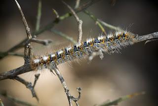 Para ampliar Lasiocampa quercus (Bombix de la encina) hacer clic