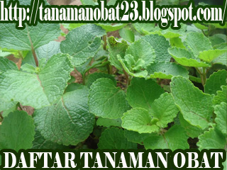 Daun Jintan (Plectranthus amboinicus (L.) Spreng.)