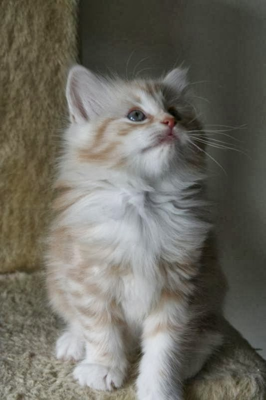 How to Groom a Norwegian Forest Cat?