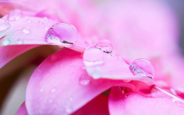 Pétalos Rosados con Gotas de Agua - Fotos de Flores Rosadas