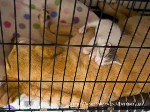 ラブラドールレトリバーと子猫 dog and kitten sleeping