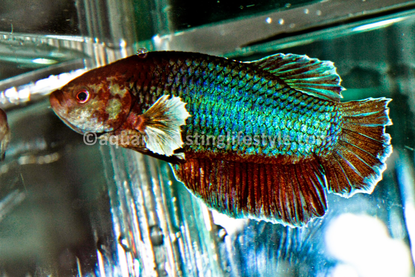 Betta fish pictures siamese fighting fish pictures for Fighting fish tank