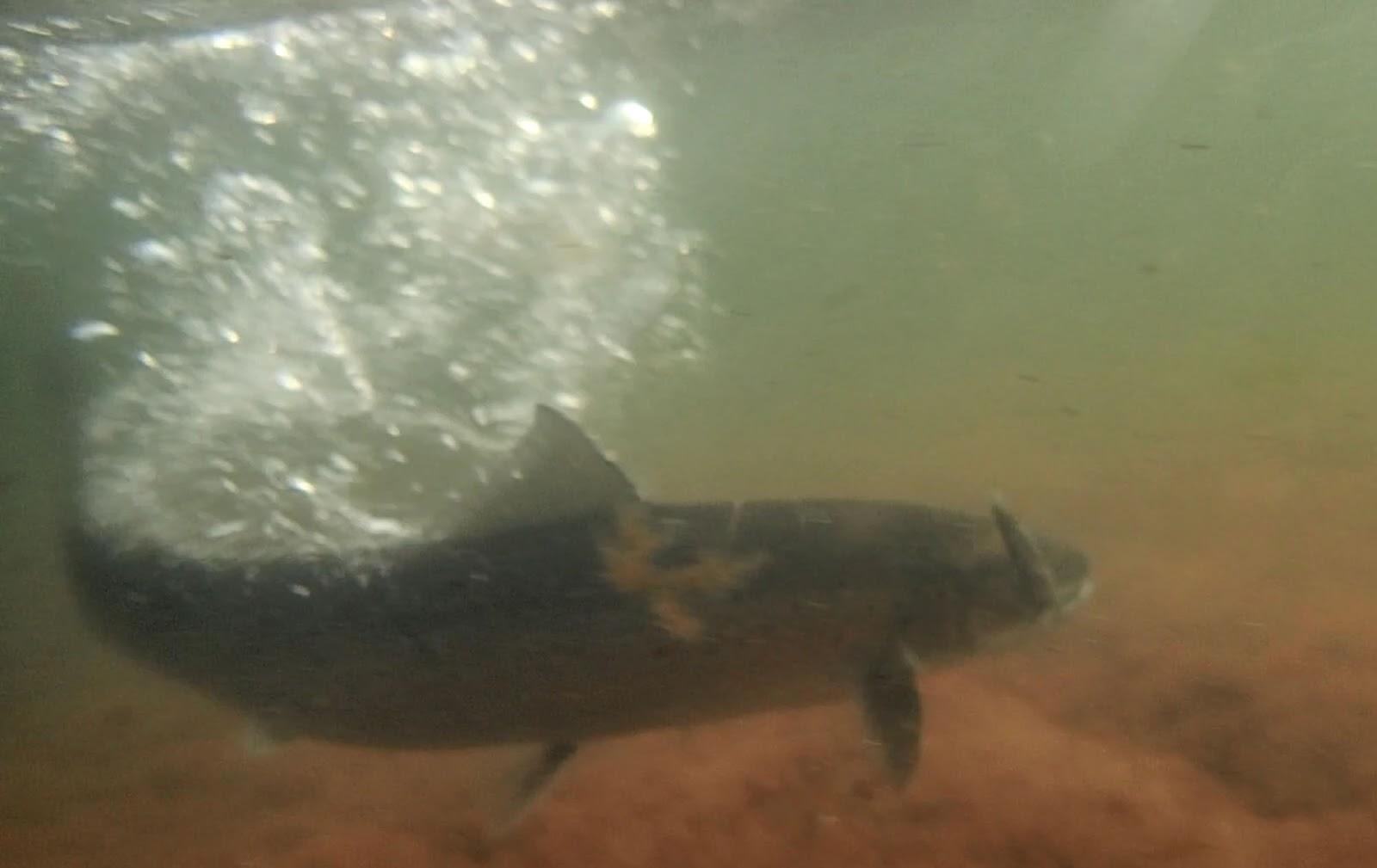 havsöring under vattnet