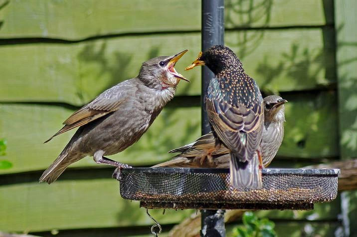 Buy canvas wallart of Starlings at Feeding Time