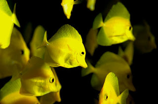 Yellow Tang Fish pictures