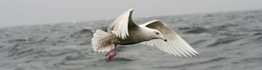 Glaucous Gull