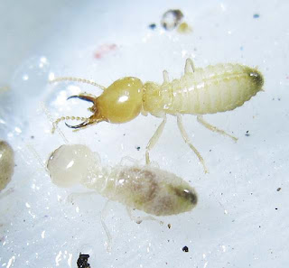 A worker and soldier of Coptotermes curvignathus termite