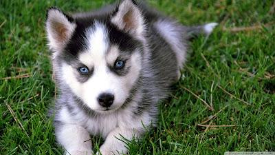 [Resim: cute_husky_puppy-wallpaper-1920x1080.jpg]