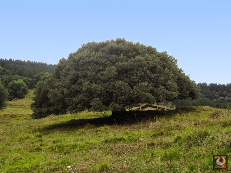 Encina de Etxeita en Garai (Bizkaia)