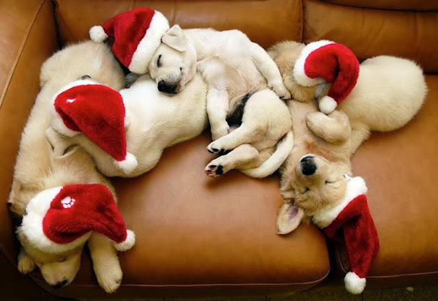 adorable dog pictures, lab puppies wear santa hats sleeping