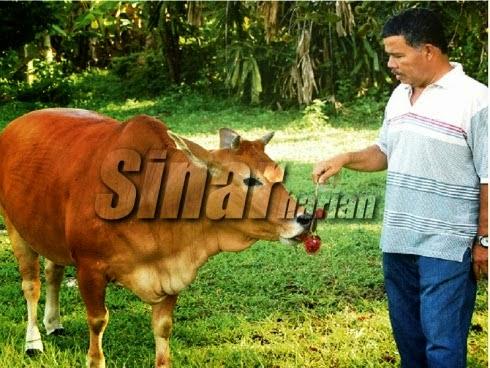 Gelagat lembu buang kulit rambutan sebelum makan isinya jadi perhatian penduduk