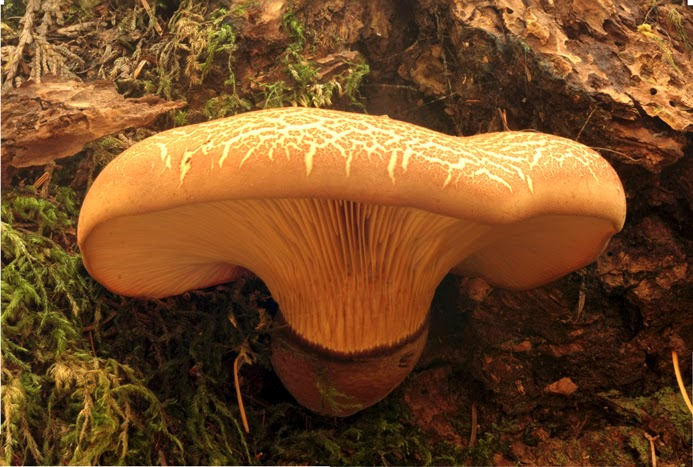 A beutiful velvet-brown stemmed-cream coloured mushroom on a stump in Mount Work Park.