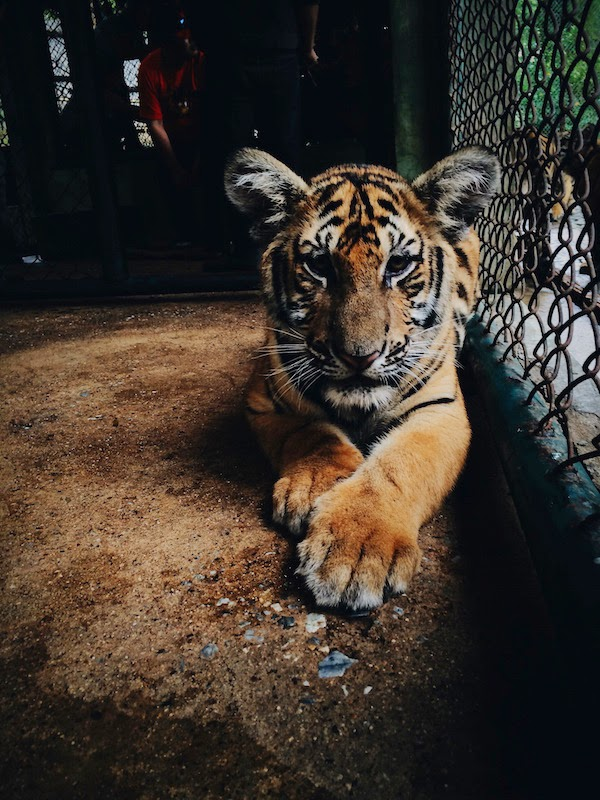 Morgan's Milieu | A Writer's Determination: A Tiger sitting peacefully.