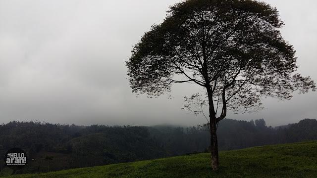 kebun teh, teh banjarnegara, kebun teh kalibening, agro wisata teh, wisata banjarnegara