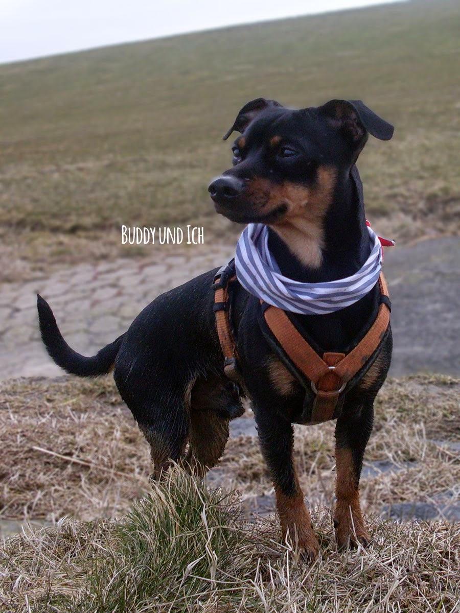 Zwergpinscher, Rüde, Friedrichskoog mit Hund