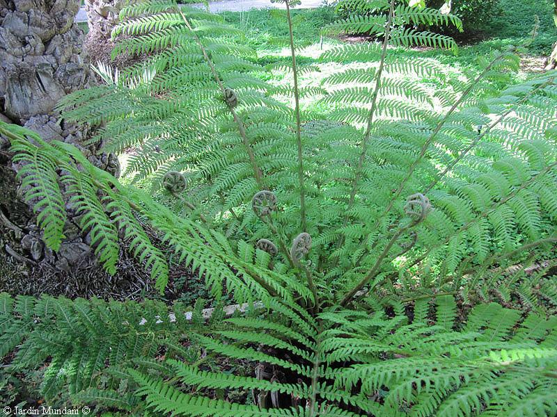 future is written in green dicksonia antarctica a fern of the tertiary. Black Bedroom Furniture Sets. Home Design Ideas